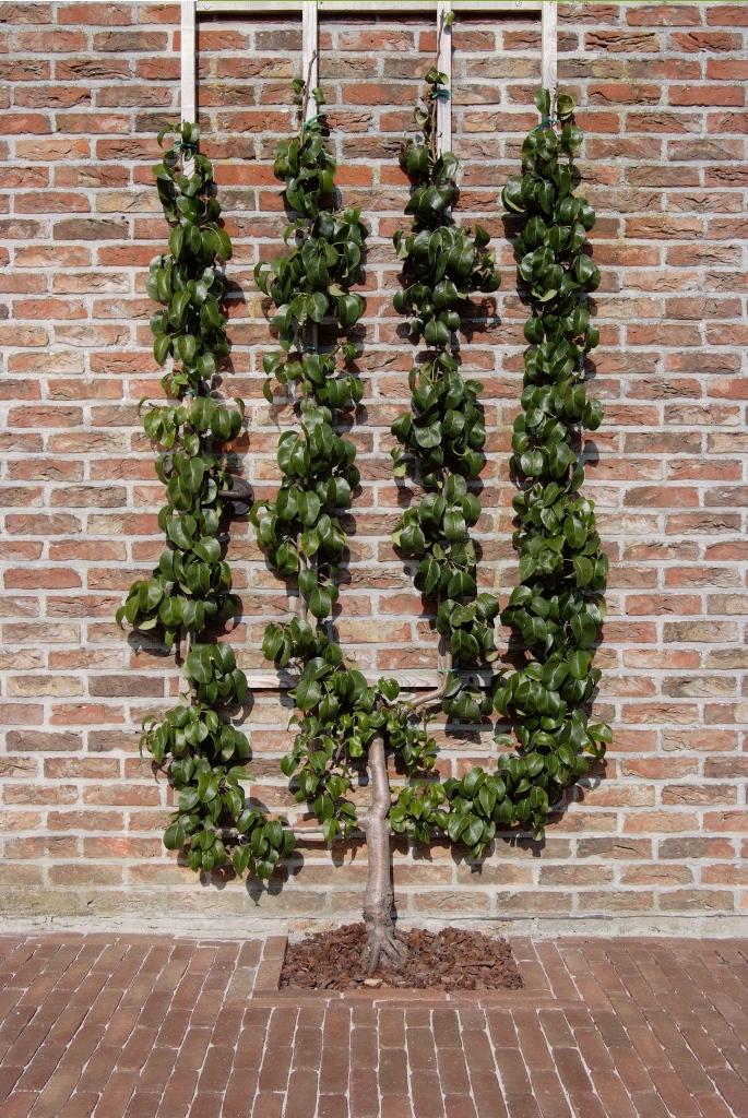 arbre paliss prix prix tilleul arbre tilleul a grandes feuilles aussi pour arbre en espalier. Black Bedroom Furniture Sets. Home Design Ideas